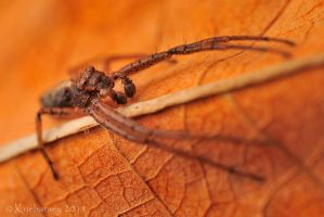 Philodromidae by Dark-Raptor
