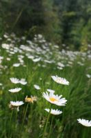 Daisies in the Morning by kyndall0709