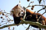 Red Panda by Sabbie89
