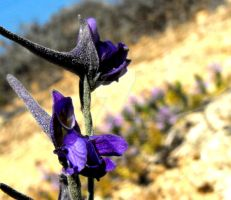 Winged Larkspur flower by floramelitensis