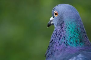 Pigeon by Once-Around-the-Sun