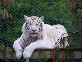 White Tiger by canadianman000