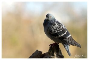 Pigeon - I by FredericD