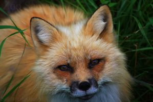 Mister Fox by Sagittor
