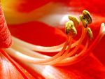 Amaryllis Pollen 1 by jerryfrencho