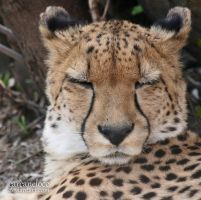 Sleeping Cheetah by Carcaneloce