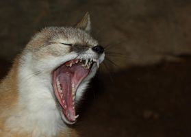 Swift Fox Scream by Jack-13