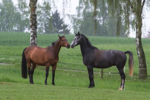 Grey and Bay Warmbloods Playing by LuDa-Stock