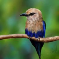 Blue Bellied Roller by Wigeons