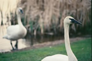 Swans On Canvas by HerbstHayabusa