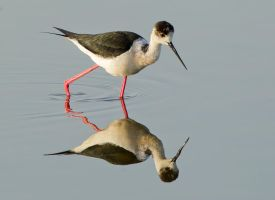 Glass Reflections - Black-winged Stilt by Jamie-MacArthur
