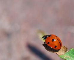 Ladybird Beetle left side by avyva