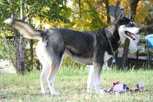 Siberian Husky Stock 003 by EssenceOfPerception