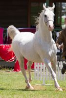 STOCK - TotR Arabians 2013-443 by fillyrox