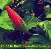 Chinese Rose by Sisterslaughter165