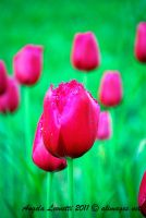 Tulip Soldiers by AngelaLeonetti