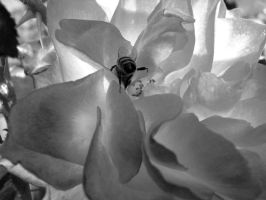 BW rose and bee by TriciaStucenski