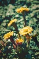 Coltsfoot by Lollo