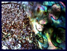 paua shell by Achello
