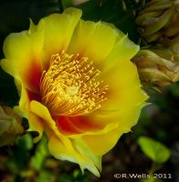 Cactus Yellow by Ray4359