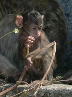 Gibraltar Apes 2 by xAnotherPrettyFacex