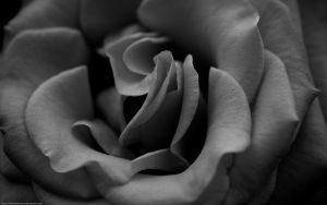 Roses are by juliekoesmarno