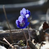 Anemone hepatica #2 by perost