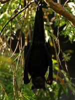 Fruit Bat by jmotbey