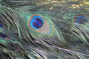 Peacock Feather by Angyles