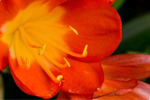 Clivia Flower by sztewe