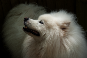 DSC05348 Samoyed Side View by wintersmagicstock