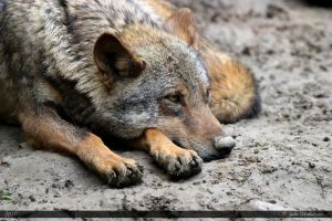 Iberian Wolf 16 by Canisography