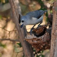 Black-crested Titmouse 8142 by robbobert
