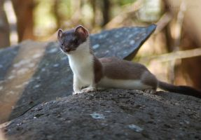 short-tailed weasel by Jooihi