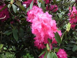 Rhododendron by JollyStock