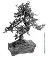 Bonsai by AmBr0