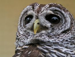 Barred Owl by Henrieke