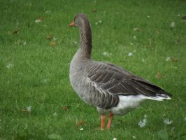 Goose Standing 2 by folipoo