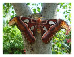 Really big Butterfly by LukasB86