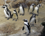 African Penguin stock by Rhabwar-Troll-stock