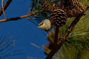 Brown Headed Nuthatch 2 by bovey-photo