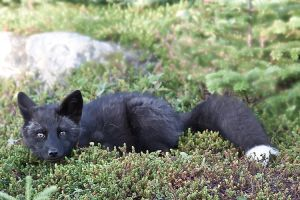 Baby Fox in the Woods 3 by Witch-Dr-Tim