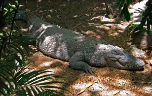 Sleepy Croc ... by sharan