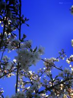 Sakura Tree Closeup by thenonhacker