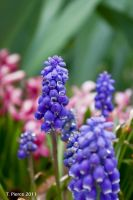 Grape Hyacinth III by thriftyredhead
