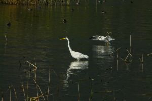 The Egret and the Gull by organicvision