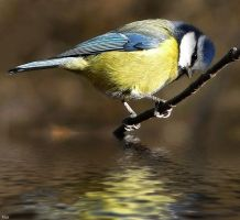 Blue tit by miirex