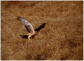 Northern Harrier Hunting by SuicideBySafetyPin