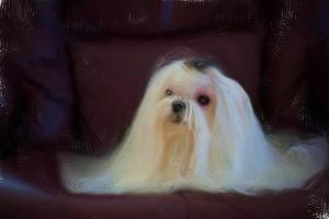 Maltese Painting by amy-octaputer