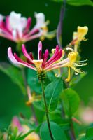 Honeysuckle (Lonicera) by Steve-FraserUK